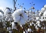 Durante 20 años se sembraron más de 100 mil hectáreas de algodón en el norte del país