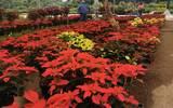 Las macetas de flor de Nochebuena que ya se venden en los viveros tiene precios que van desde los 25 hasta los 300 pesos