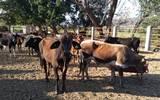 Después de varios meses, los diferentes tianguis ganaderos que hay en Morelos ya se encuentra laborando